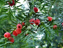 Quand tailler un Taxus Baccata ?